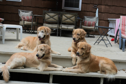 Abalee Golden Retrievers Abalee Golden Retrievers Was Established